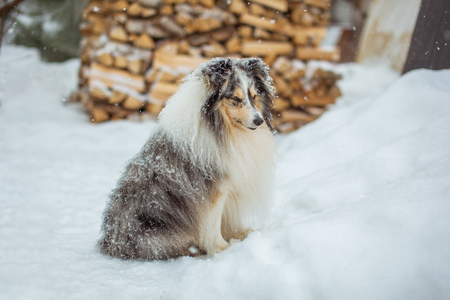 Adorable sheltie dog sitting on the white snow in the yard