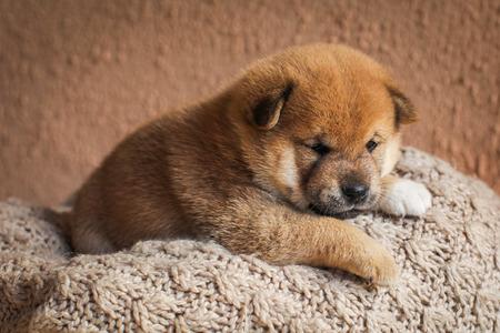 かわいい赤い色の芝犬の子犬の肖像画。可愛い日本の犬。幸せな家畜。 写真素材
