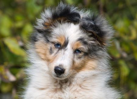 シェルティー子犬クローズアップ肖像画