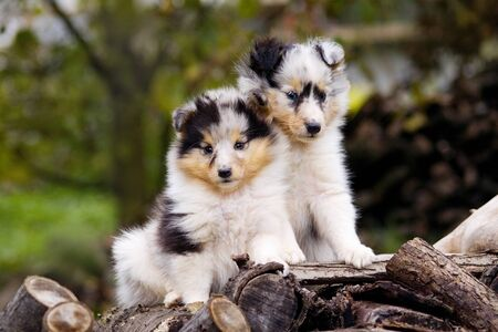 Two blue merle sheltie puppies sitting close each to other outdoor. They looks very attractively, fluffy and cute.