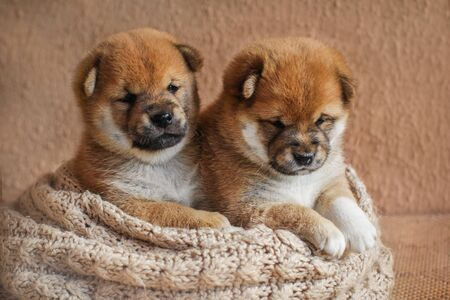 Portrait of cute red colored shiba inu puppy dog ??in basket. Lovely Japanese dog. A happy domestic pet. 写真素材