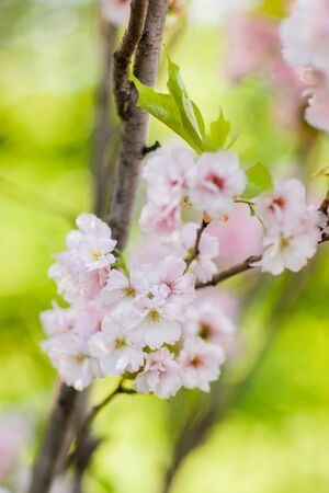 Close-up cherry blossom flowers on natural green background Stock Photo