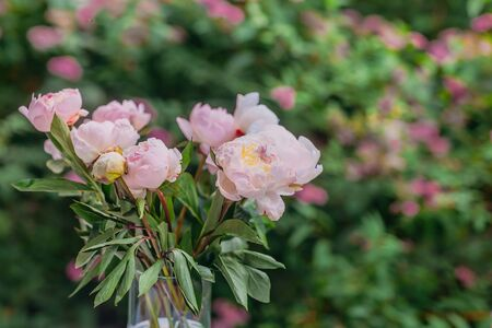 Delicate fresh pink peonies close-up, beautiful flowers in the summer garden, natural pleasant background