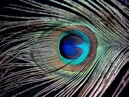 Beauty of a beautiful peacock feather at close angle on a back or dark background