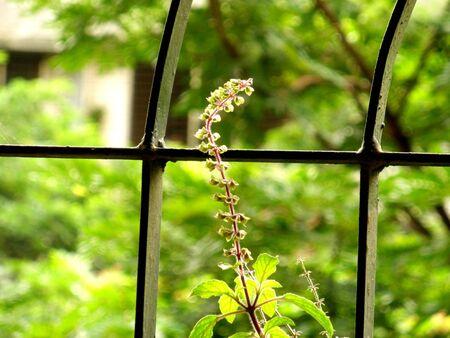 tulsi: Tulsi by the window