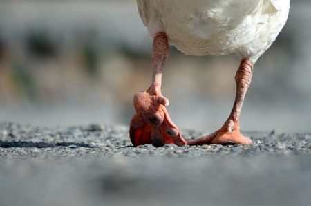 duck feet: The First Step-Rear view of the feet of a walking duck Stock Photo