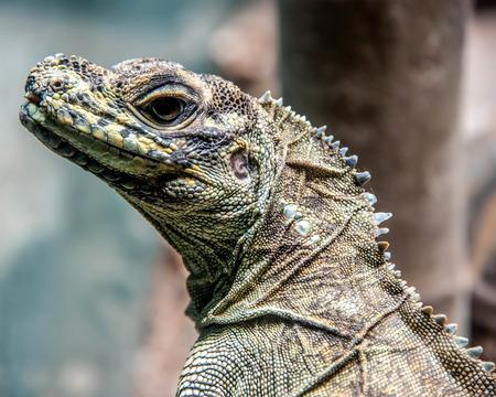 lizzie: Australian water dragon Stock Photo