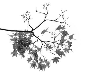 Maple branches  and leaves in black and white photo