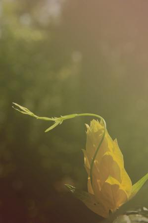 tropical shrub: outdoor, wallpaper, natural, park, green, floral, tropical, spring, lighting, petal, flower, leaf, yellow, botanical, tone, shrimp, blossom, bloom, flora, stem, decorative, shrub, retro, garden, color, growth, colorful, plant, beauty, antique, golden, anc Stock Photo