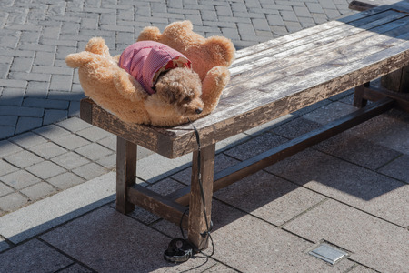 miniature poodle: Miniature poodle puppy waiting in soft bed