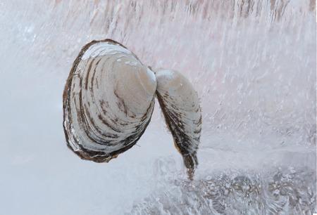 Frozen clams Ubagai shellfish in a block of ice