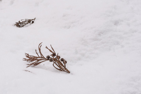 dispirited: Dry pine leaf and cone on snow.