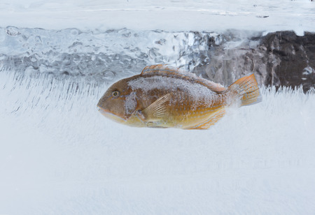 thicken: FrozenParrotfish fish in a block of ice Stock Photo