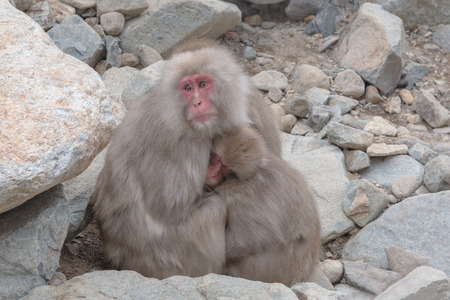 farther: japanese snow monkeys cold feeling before snowfall in the park, Jigokudani Wild Monkey Park, Yamanouchi-machi, Nagano, Japan.