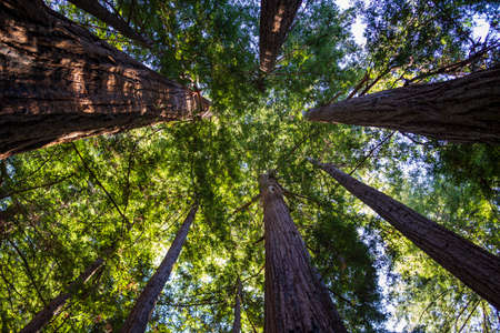 Looking up at very tall trees in a California National Forest in day time.