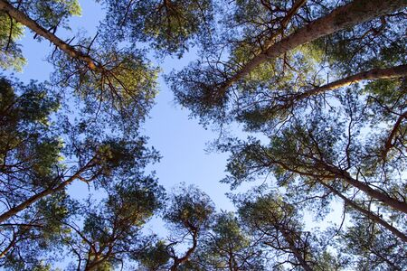 pine forest low angle view