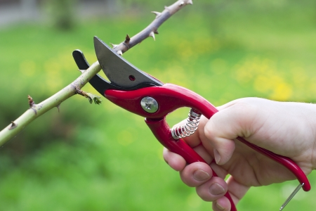 tijeras: poda de ramas con tijeras de podar Foto de archivo