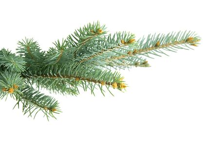 Fir branch isolated on white background Stock Photo