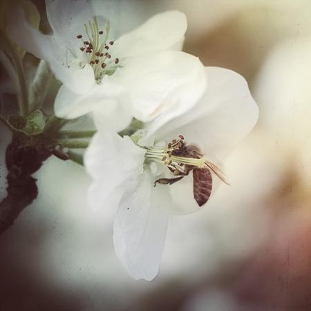 bee on apple flower, vintage effect added Stock Photo