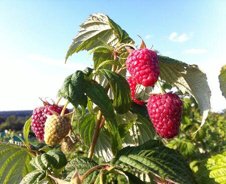Raspberries growing in the garden