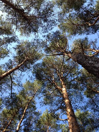 Pine trees forest low angle view