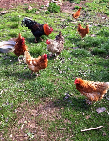 Free range chickens on a small farm Stock Photo