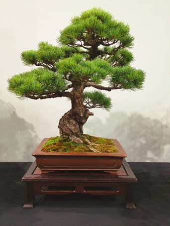 bonsai: Bonsai tree