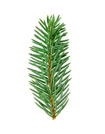 fir twig: fir twig with clipping path