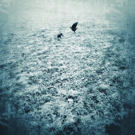 grunge: Two rooks on frosty meadow