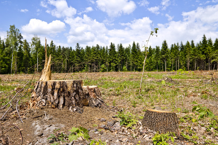 tree  forest: tree stumps and felled forest Stock Photo