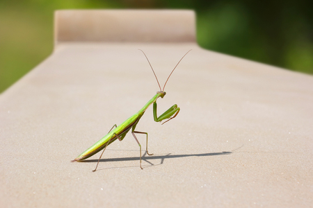 Mantis on the garden, stone bench