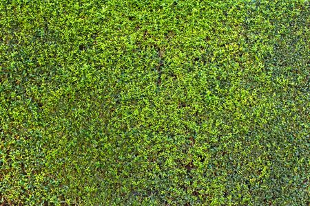 Green hedge background texture