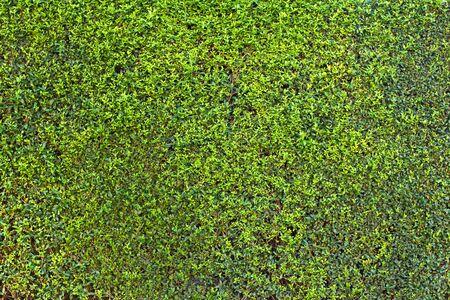 Trama di sfondo verde siepe