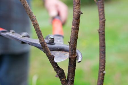 gardener pruning branch with secateurs Stock Photo