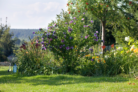 summer backyard garden landscape, blue hibiscus flowers, grill in the background