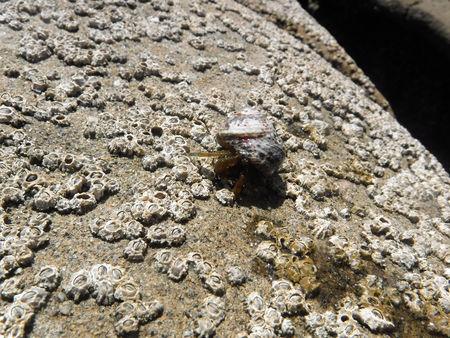 hermit crab on a rock closeup