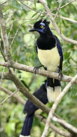 the magpie: common magpie Stock Photo