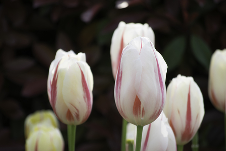 gules: Red and white tulips close-up