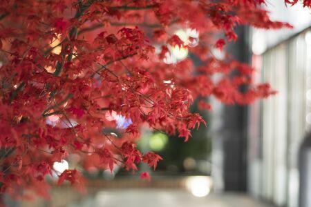 gules: Red maple leaf