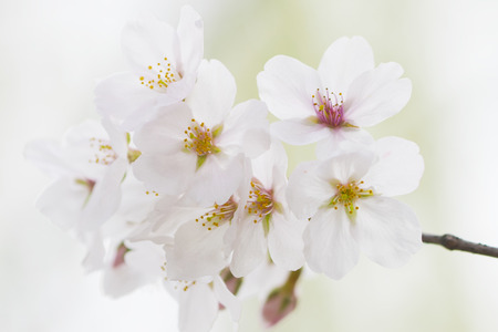 A cluster of white cherry blossoms