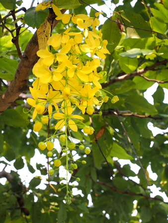 fistula: Golden Shower Tree Thailand