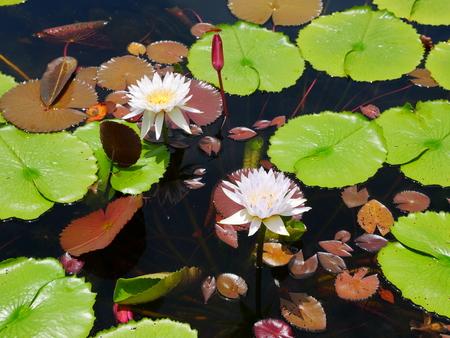 Twin white mix purple bloom lotus pond Stok Fotoğraf