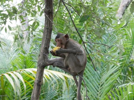 Monkey eat corn Thailand