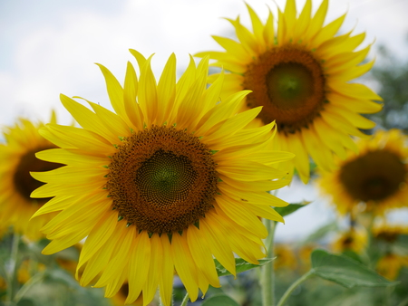two sunflower and friend