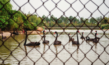 barbs: Black swans in the lake