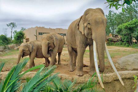 land mammals: Elephants