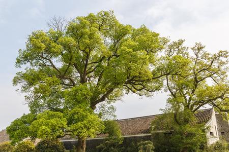 cinnamomum: Large camphor tree