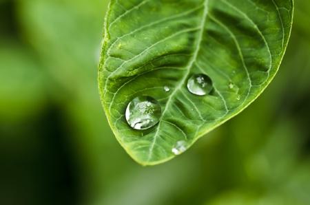 water green leaf