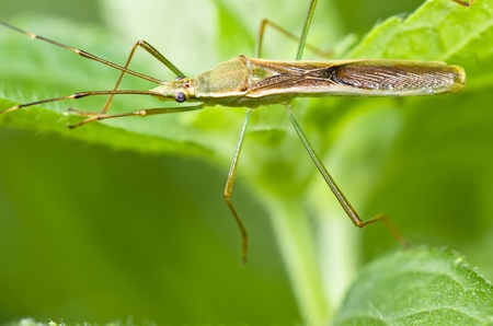 daddy long legs on green leaf Stock Photo - 9884925