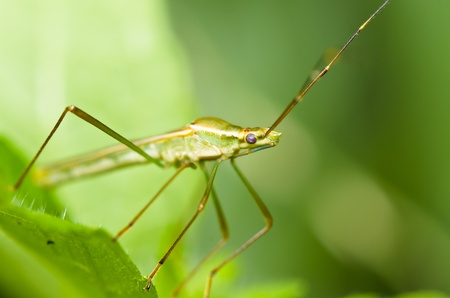 daddy long legs on green leaf Stock Photo - 9884917